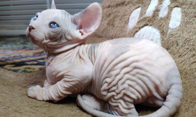 Котенок Shaya