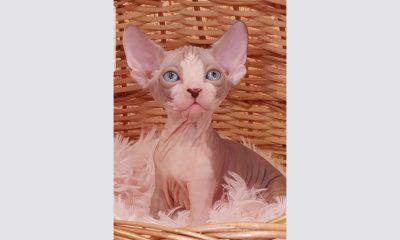 Котенок Megi